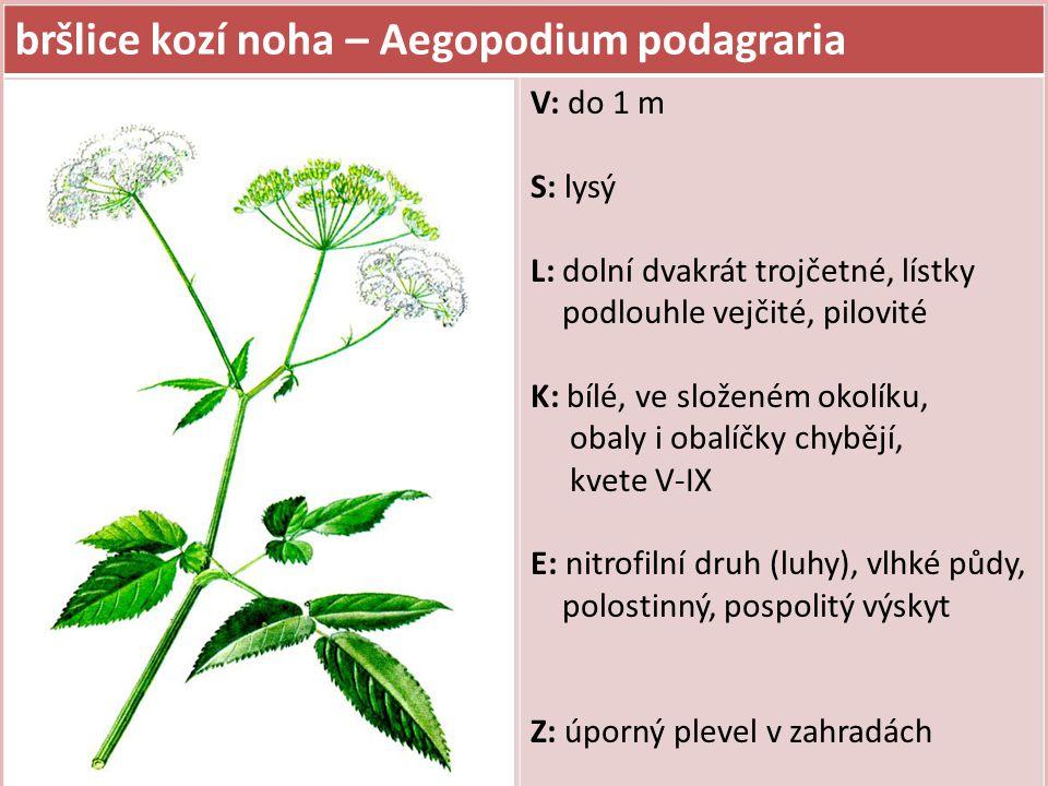 bršlice kozí noha – Aegopodium podagraria V: do 1 m S: lysý L: dolní dvakrát trojčetné, lístky podlouhle vejčité, pilovité K: bílé, ve složeném okolík