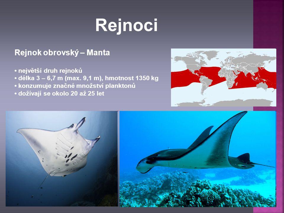Rejnok obrovský – Manta největší druh rejnoků délka 3 – 6,7 m (max. 9,1 m), hmotnost 1350 kg konzumuje značné množství planktonů dožívají se okolo 20