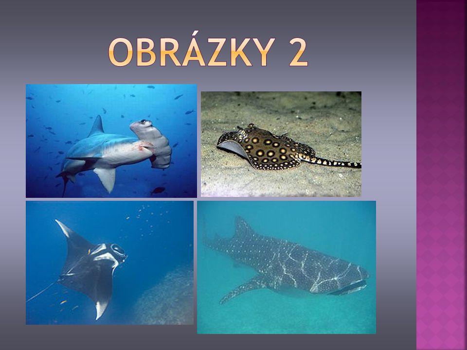 je vymřelý druh žraloka žil přibližně před 16 – 1,6 mil.