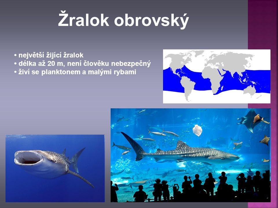 největší žijící žralok délka až 20 m, není člověku nebezpečný živí se planktonem a malými rybami