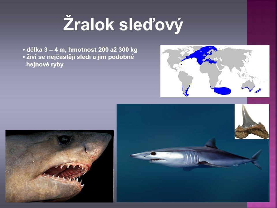 délka 3 – 4 m, hmotnost 200 až 300 kg živí se nejčastěji sledi a jim podobné hejnové ryby