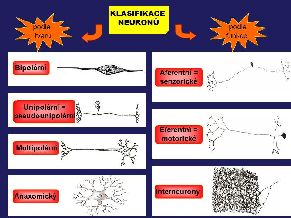 podle tvaru KLASIFIKACE NEURONŮ podle funkce Bipolární Eferentní = motorické Aferentní = senzorické Interneurony Multipolární Unipolární = pseudounipo
