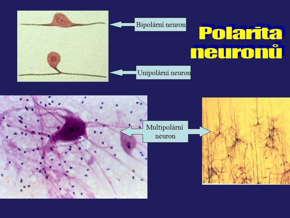 Bipolární neuron Unipolární neuron Multipolární neuron