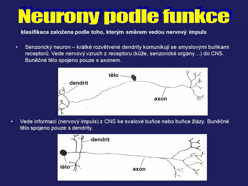 Senzorický neuron – krátké rozvětvené dendrity komunikují se smyslovými buňkami receptorů. Vede nervový vzruch z receptoru (kůže, senzorické orgány…)