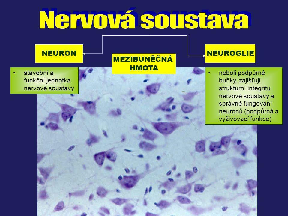 NEURON NEUROGLIE MEZIBUNĚČNÁ HMOTA stavební a funkční jednotka nervové soustavy neboli podpůrné buňky, zajišťují strukturní integritu nervové soustavy