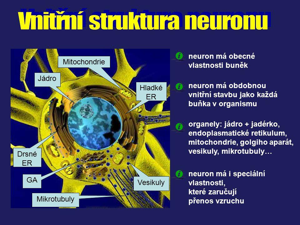 Jádro Mitochondrie Hladké ER Drsné ER GA Mikrotubuly Vesikuly neuron má obdobnou vnitřní stavbu jako každá buňka v organismu neuron má obecné vlastnos
