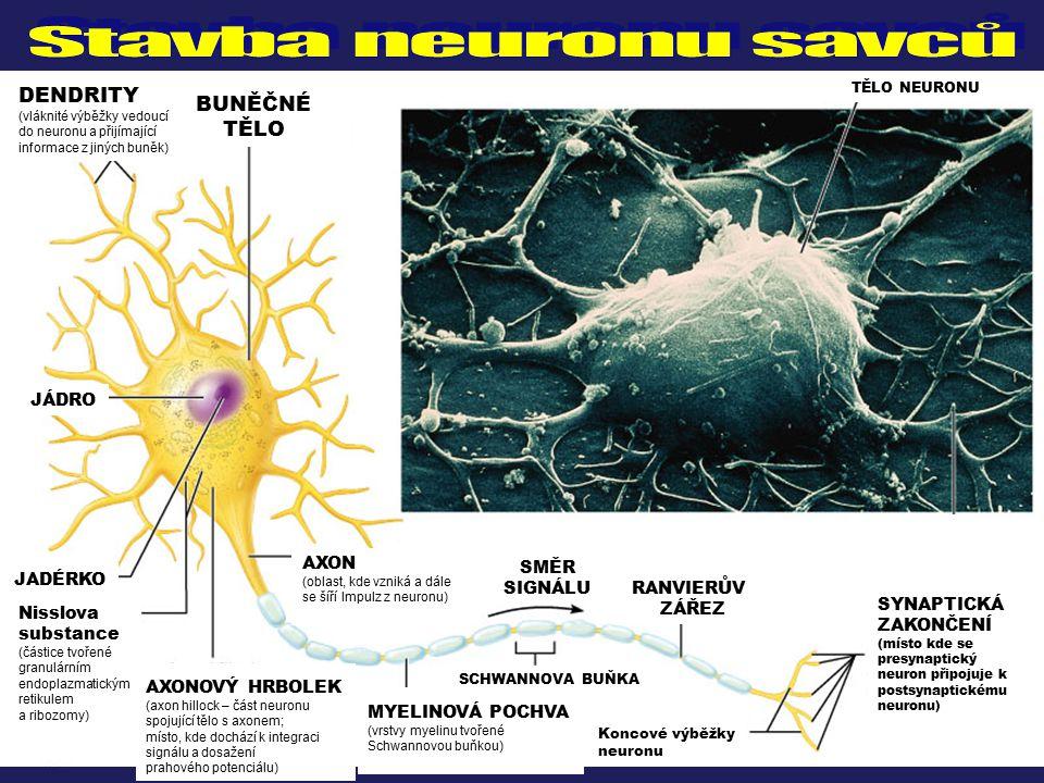 DENDRITY (vláknité výběžky vedoucí do neuronu a přijímající informace z jiných buněk) BUNĚČNÉ TĚLO JÁDRO JADÉRKO AXONOVÝ HRBOLEK (axon hillock – část