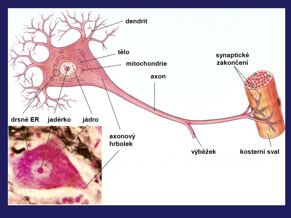 dendrit tělo mitochondrie axon synaptické zakončení kosterní sval výběžek axonový hrbolek jádrojadérkodrsné ER
