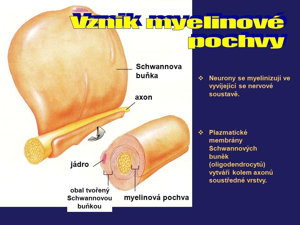 axon Schwannova buňka jádro myelinová pochva obal tvořený Schwannovou buňkou  Neurony se myelinizují ve vyvíjející se nervové soustavě.  Plazmatické