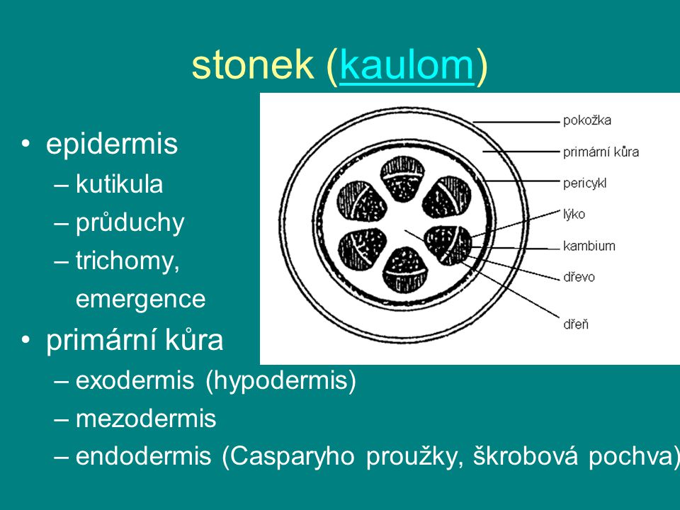 stonek (kaulom)kaulom epidermis –kutikula –průduchy –trichomy, emergence primární kůra –exodermis (hypodermis) –mezodermis –endodermis (Casparyho prou