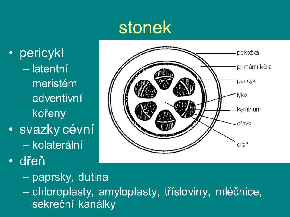 stonek pericykl –latentní meristém –adventivní kořeny svazky cévní –kolaterální dřeň –paprsky, dutina –chloroplasty, amyloplasty, třísloviny, mléčnice