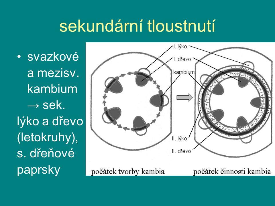 sekundární tloustnutí svazkové a mezisv. kambium → sek. lýko a dřevo (letokruhy), s. dřeňové paprsky