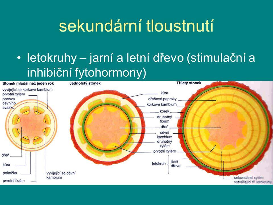 sekundární tloustnutí letokruhy – jarní a letní dřevo (stimulační a inhibiční fytohormony)