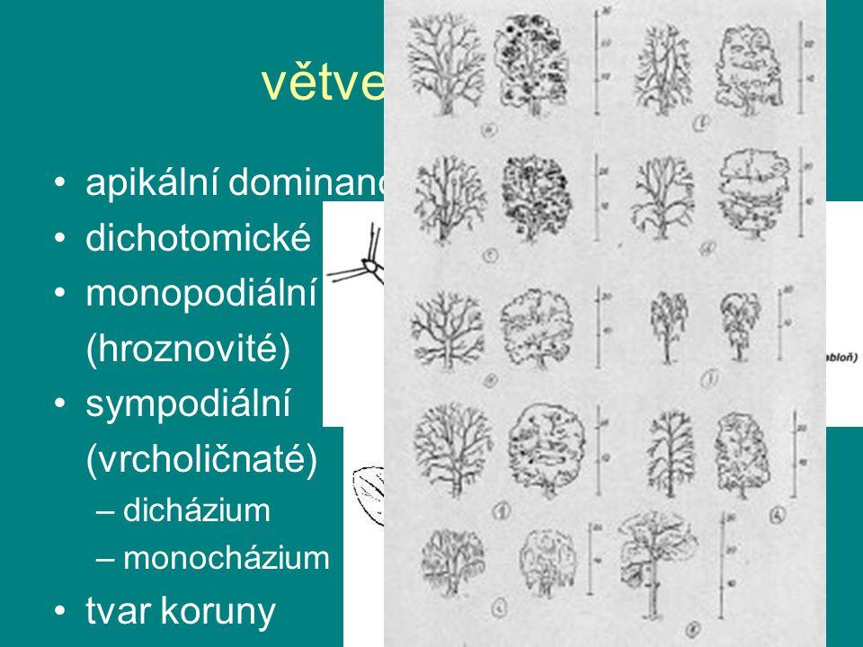 větvení stonku apikální dominance: auxiny x cytokiny dichotomické monopodiální (hroznovité) sympodiální (vrcholičnaté) –dicházium –monocházium tvar ko