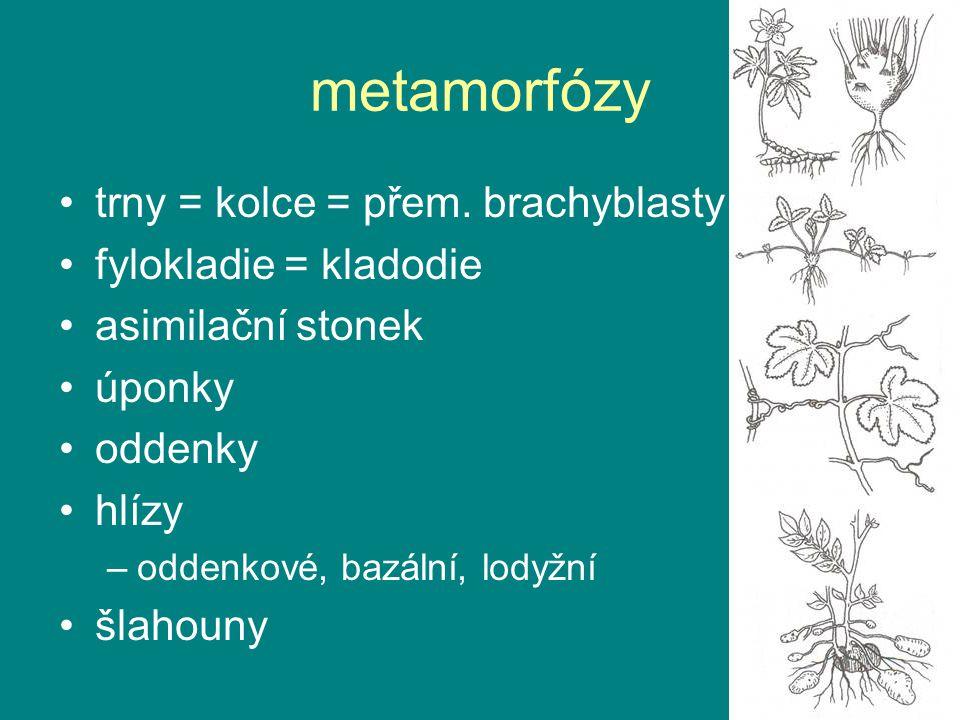 metamorfózy trny = kolce = přem. brachyblasty fylokladie = kladodie asimilační stonek úponky oddenky hlízy –oddenkové, bazální, lodyžní šlahouny