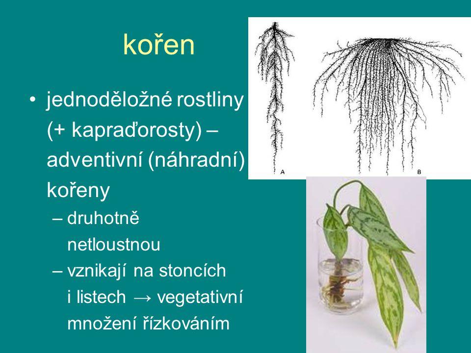 kořen kořenová čepička (kalyptra) –parenchym –slizovitá BS –ochrana, průnik –velké jádro, obnova dělivá zóna –primární meristémy (apik.) prodlužovací zóna –růst buněk, velká vakuola absorpční zóna –kořenové vlášení –diferenciace