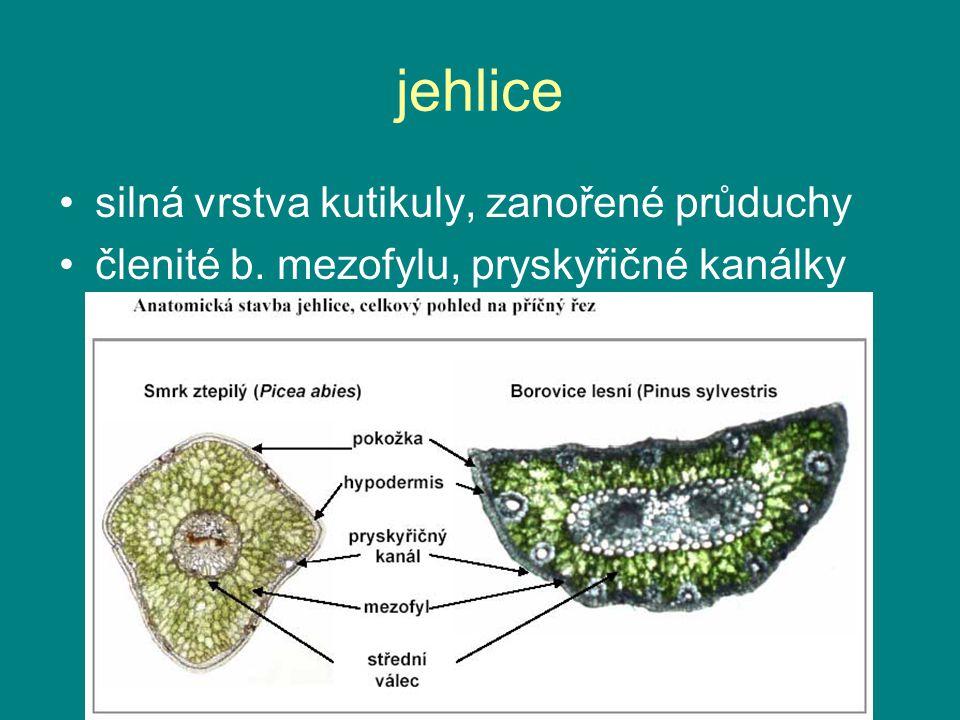 jehlice silná vrstva kutikuly, zanořené průduchy členité b. mezofylu, pryskyřičné kanálky
