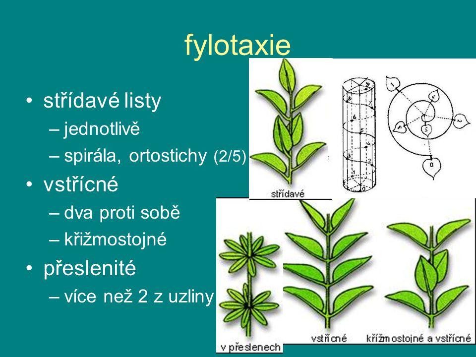 fylotaxie střídavé listy –jednotlivě –spirála, ortostichy (2/5) vstřícné –dva proti sobě –křižmostojné přeslenité –více než 2 z uzliny