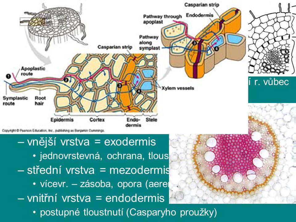 kořen kořenová pokožka (rhizodermis) –kořenové vlášení (rhiziny) ↑ absorpční plochy, r. s mykorhizou méně, vodní r. vůbec = absorbční trichomy –jednov