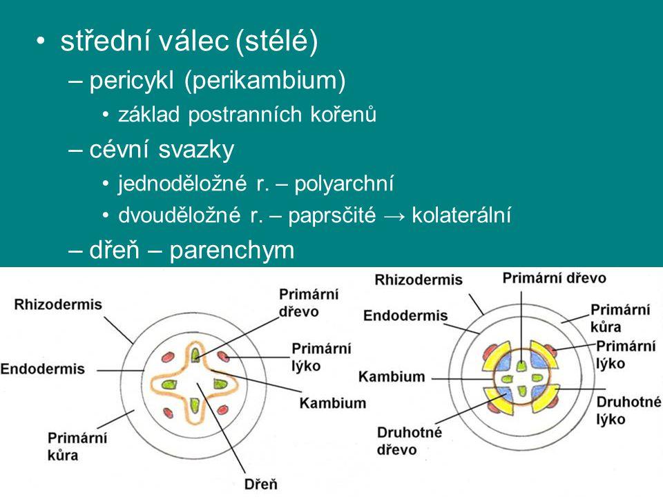 střední válec (stélé) –pericykl (perikambium) základ postranních kořenů –cévní svazky jednoděložné r. – polyarchní dvouděložné r. – paprsčité → kolate