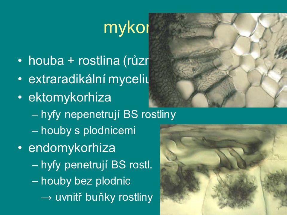 mykorhiza houba + rostlina (různé druhy) extraradikální mycelium ektomykorhiza –hyfy nepenetrují BS rostliny –houby s plodnicemi endomykorhiza –hyfy p
