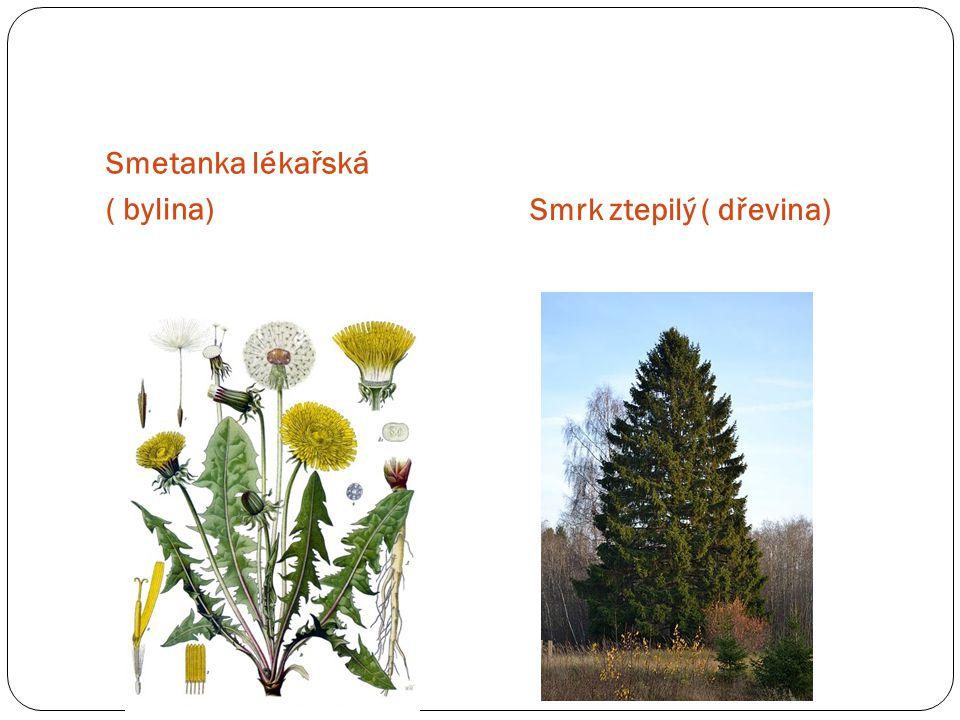 Smetanka lékařská ( bylina) Smrk ztepilý ( dřevina)