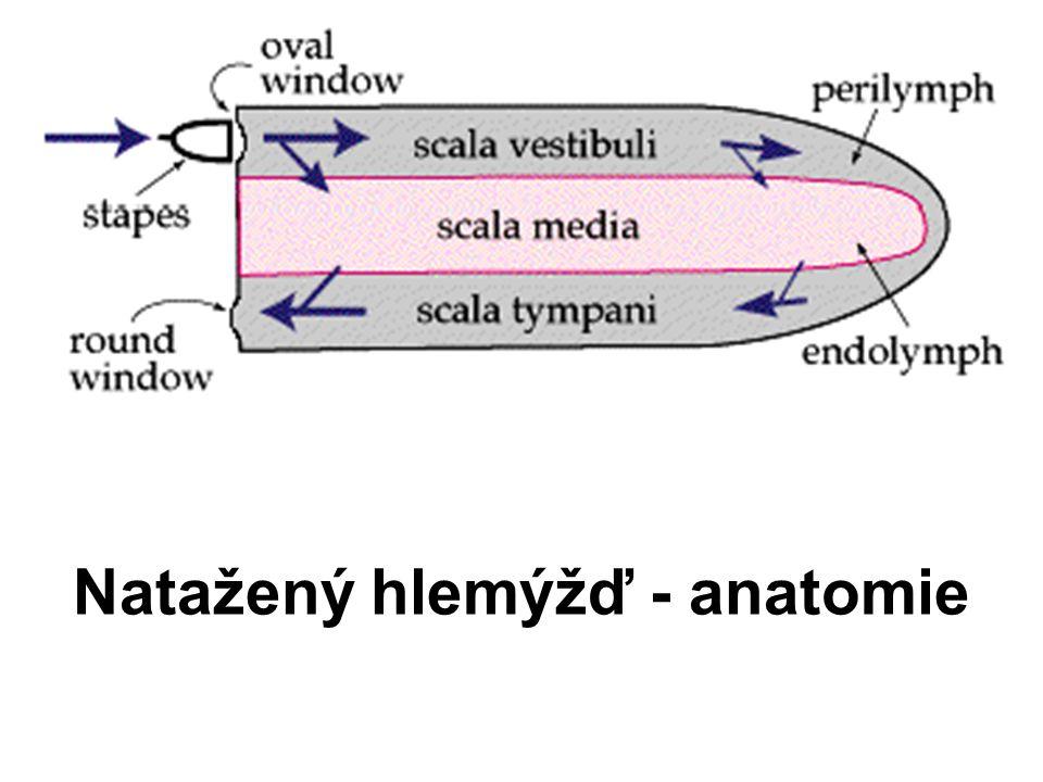 Natažený hlemýžď - anatomie