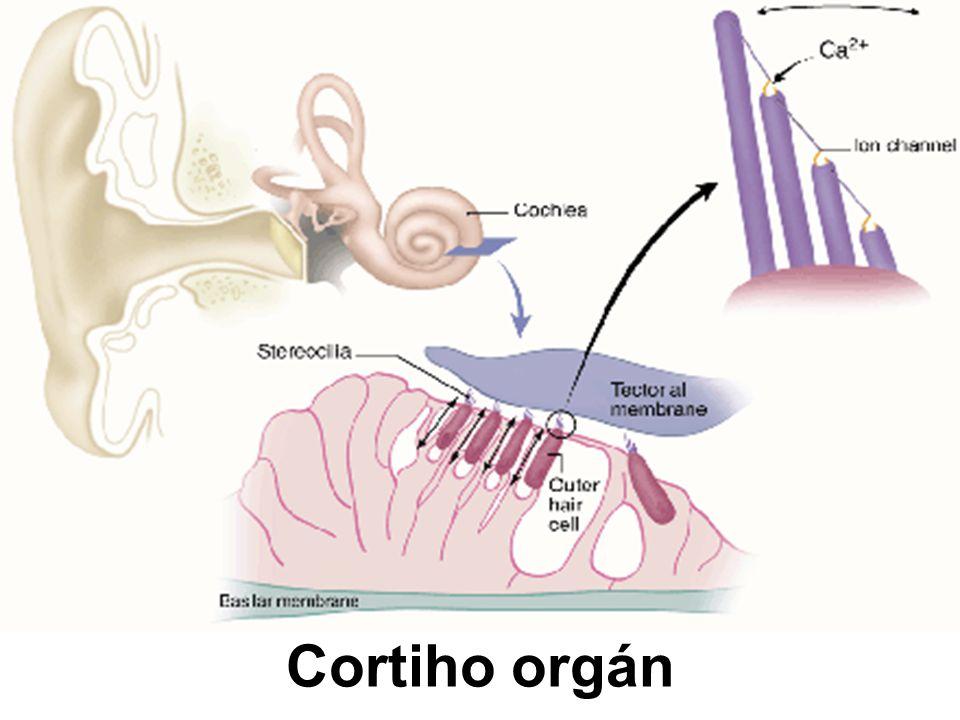 Cortiho orgán