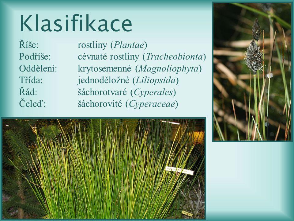 Klasifikace Říše:rostliny (Plantae) Podříše:cévnaté rostliny (Tracheobionta) Oddělení:krytosemenné (Magnoliophyta) Třída:jednoděložné (Liliopsida) Řád