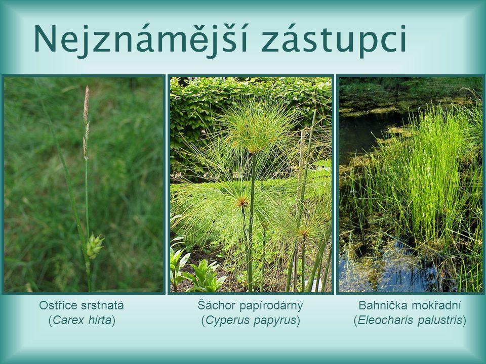 Ostřice srstnatá (Carex hirta) Šáchor papírodárný (Cyperus papyrus) Bahnička mokřadní (Eleocharis palustris) Nejznám ě jší zástupci