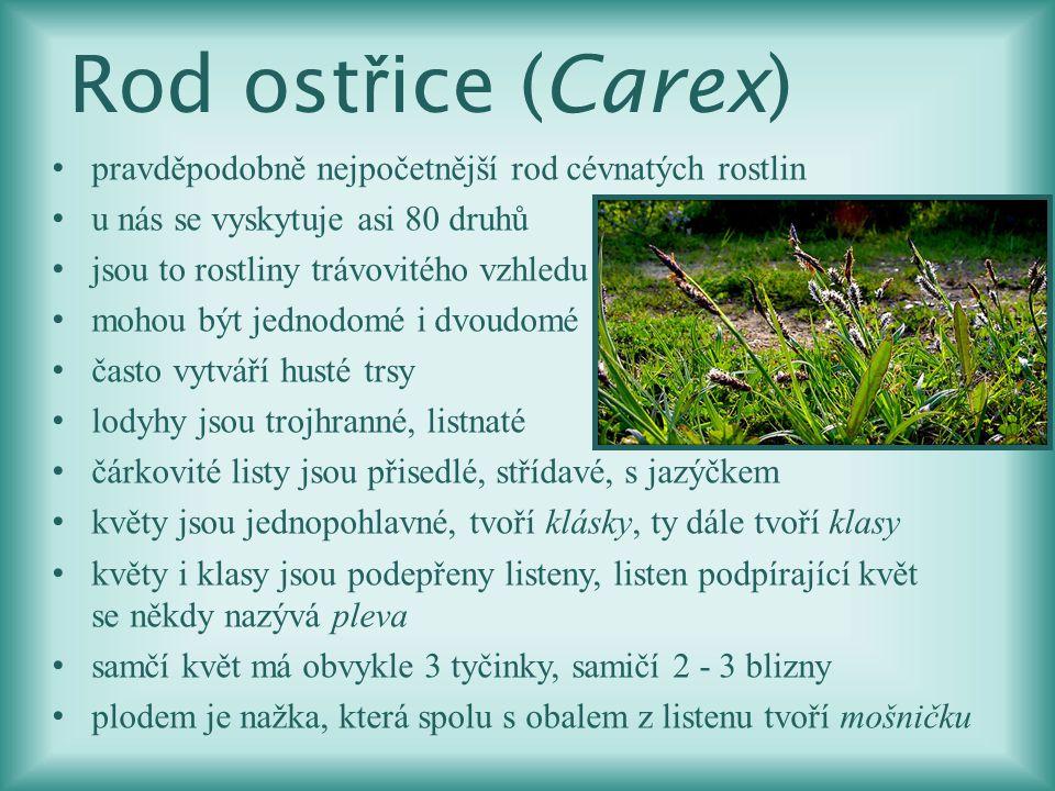 Rod ost ř ice (Carex) pravděpodobně nejpočetnější rod cévnatých rostlin u nás se vyskytuje asi 80 druhů jsou to rostliny trávovitého vzhledu mohou být