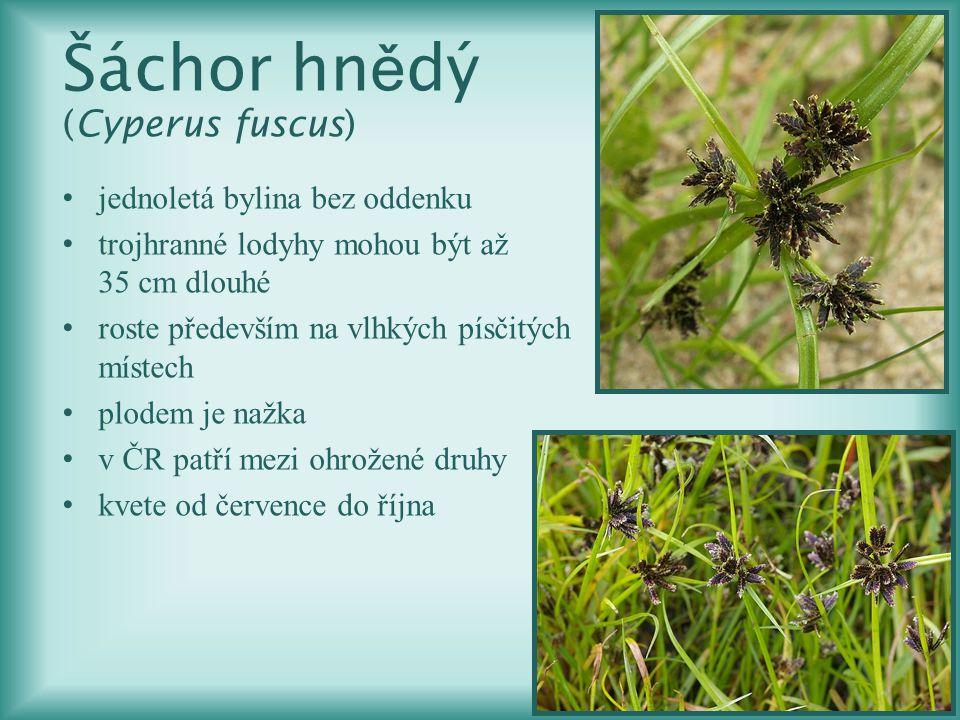 Šáchor hn ě dý (Cyperus fuscus) jednoletá bylina bez oddenku trojhranné lodyhy mohou být až 35 cm dlouhé roste především na vlhkých písčitých místech