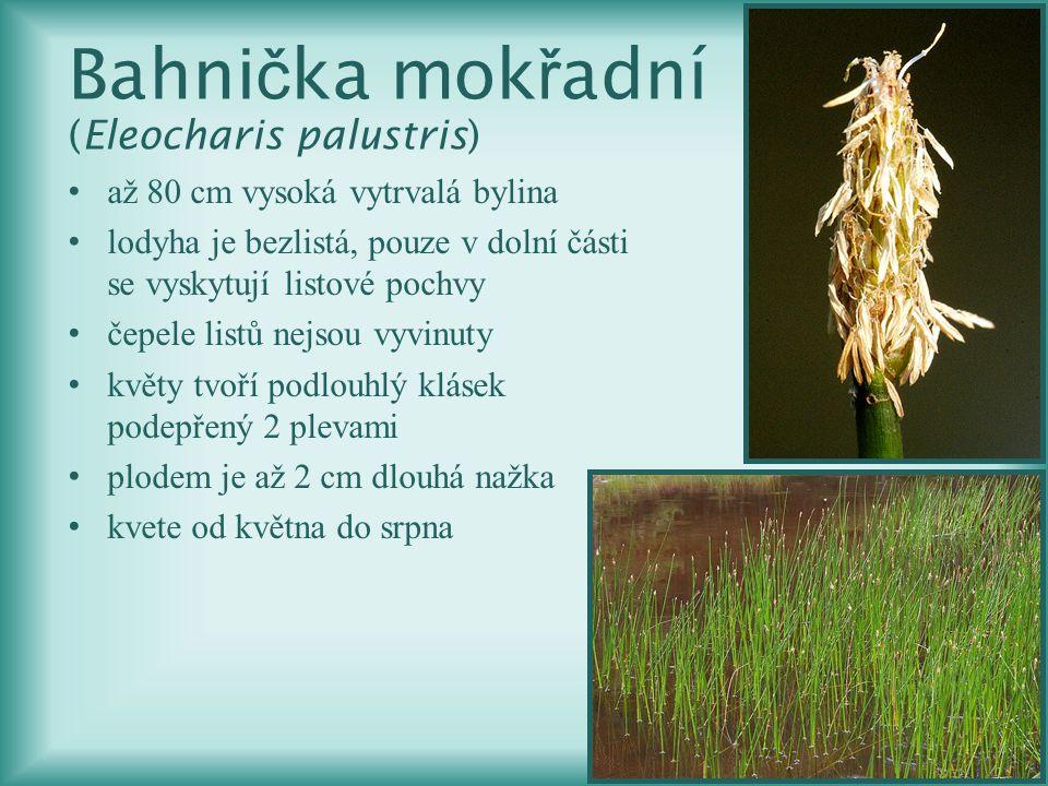 Bahni č ka mok ř adní (Eleocharis palustris) až 80 cm vysoká vytrvalá bylina lodyha je bezlistá, pouze v dolní části se vyskytují listové pochvy čepel