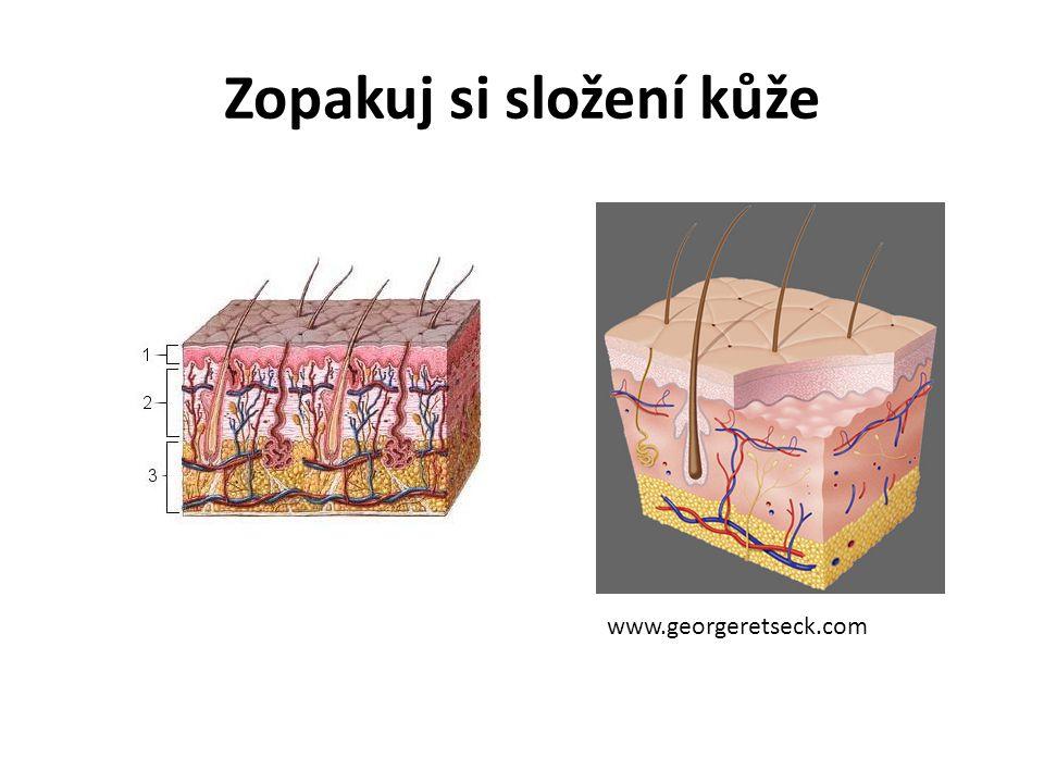Zopakuj si složení kůže www.georgeretseck.com