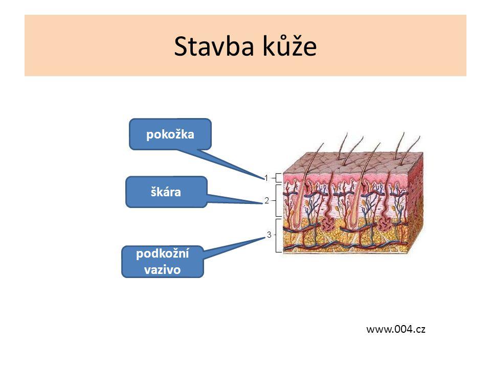 Pokožka – Je tvořena několika vrstvami plochých buněk – Vrchní buňky jsou zrohovatělé – Každý den se tvoří nová vrstva (nové buňky se tvoří po půlnoci) – Je nejtlustší na dlaních a chodidlech www.kuze-2.navajo.cz Daktyloskopie Rozrýhování pokožky prstů je charakteristické pro každého jedince.
