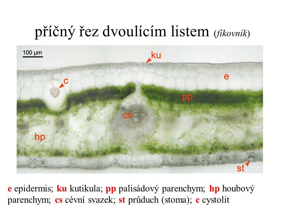 příčný řez dvoulícím listem (fíkovník) e epidermis; ku kutikula; pp palisádový parenchym; hp houbový parenchym; cs cévní svazek; st průduch (stoma); c cystolit