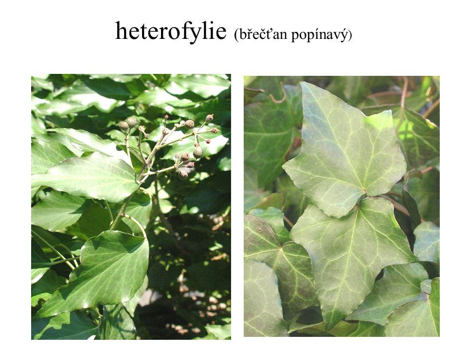 heterofylie (břečťan popínavý )