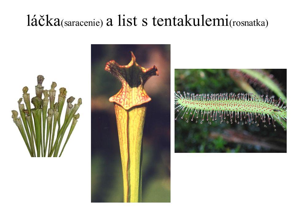 láčka (saracenie) a list s tentakulemi (rosnatka)