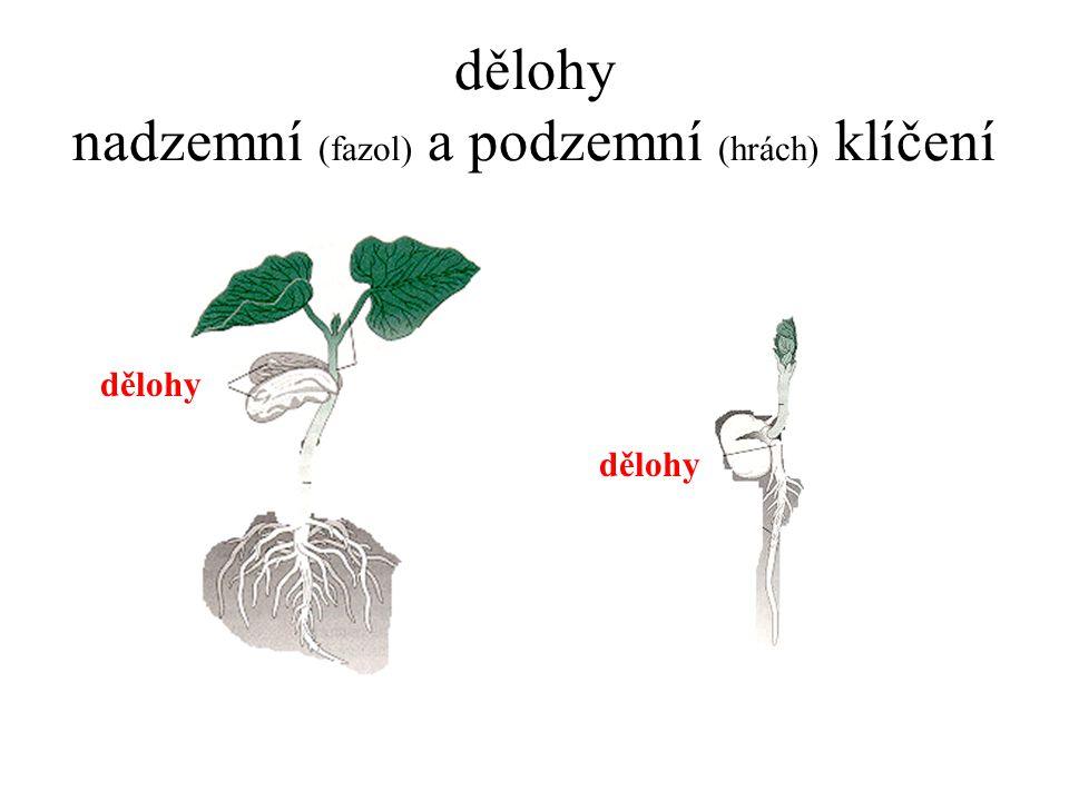 dělohy nadzemní (fazol) a podzemní (hrách) klíčení dělohy