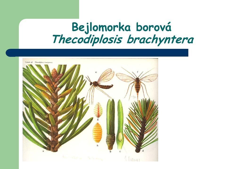 Bejlomorka borová Thecodiplosis brachyntera