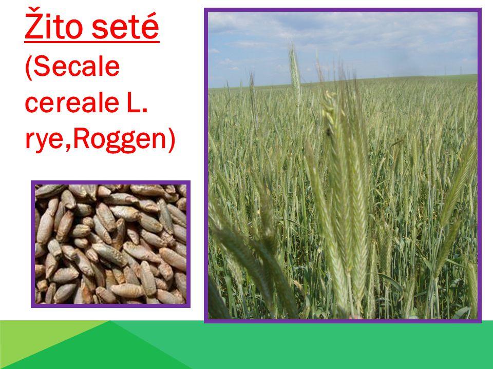Žito seté (Secale cereale L. rye,Roggen)