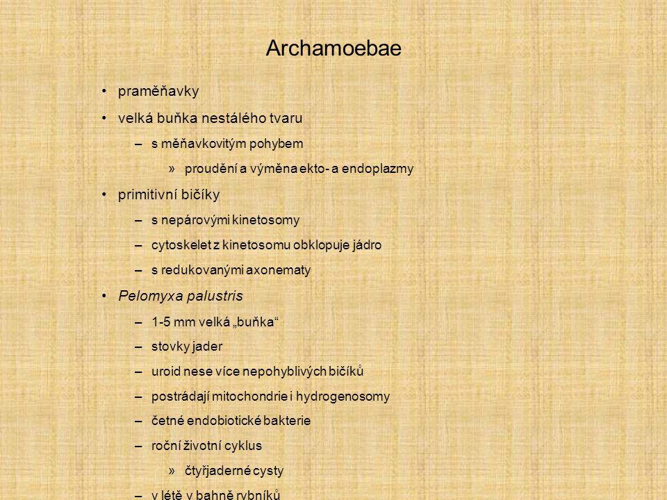 """Archamoebae praměňavky velká buňka nestálého tvaru –s měňavkovitým pohybem »proudění a výměna ekto- a endoplazmy primitivní bičíky –s nepárovými kinetosomy –cytoskelet z kinetosomu obklopuje jádro –s redukovanými axonematy Pelomyxa palustris –1-5 mm velká """"buňka –stovky jader –uroid nese více nepohyblivých bičíků –postrádají mitochondrie i hydrogenosomy –četné endobiotické bakterie –roční životní cyklus »čtyřjaderné cysty –v létě v bahně rybníků"""