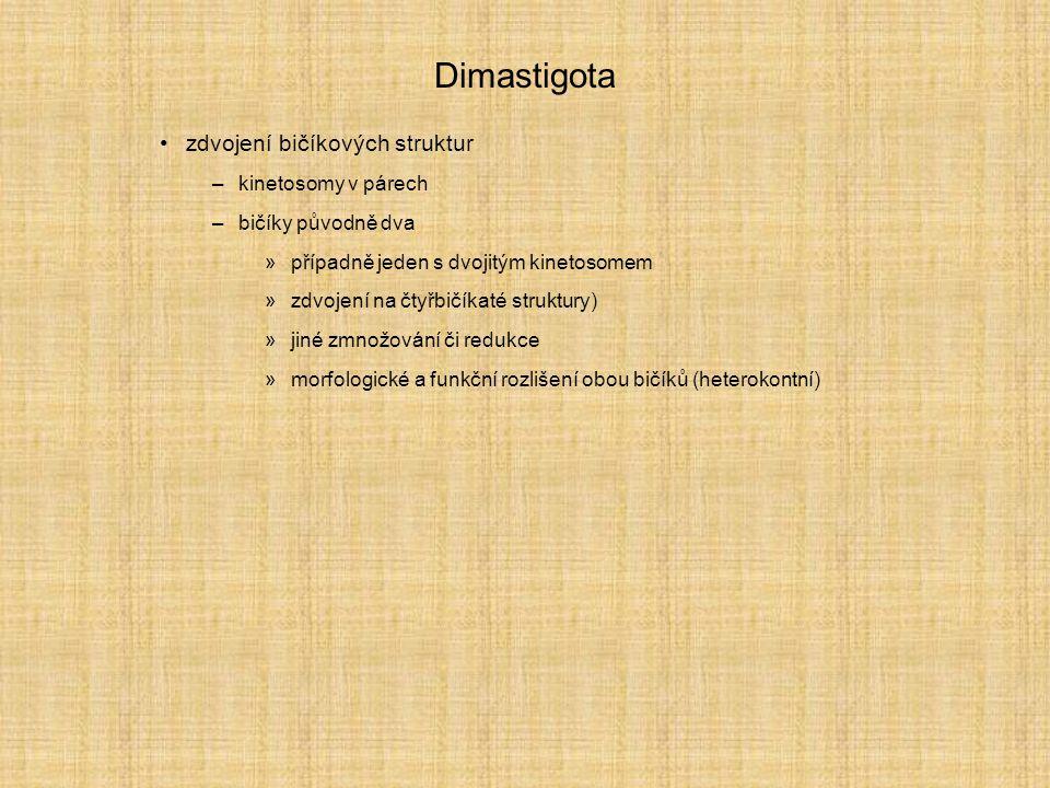 Dimastigota zdvojení bičíkových struktur –kinetosomy v párech –bičíky původně dva »případně jeden s dvojitým kinetosomem »zdvojení na čtyřbičíkaté struktury) »jiné zmnožování či redukce »morfologické a funkční rozlišení obou bičíků (heterokontní)