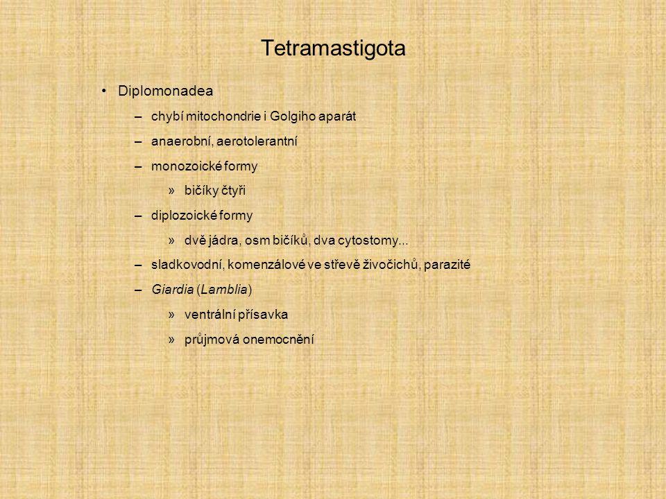 Tetramastigota Diplomonadea –chybí mitochondrie i Golgiho aparát –anaerobní, aerotolerantní –monozoické formy »bičíky čtyři –diplozoické formy »dvě jádra, osm bičíků, dva cytostomy...
