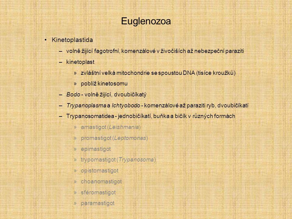 Euglenozoa Kinetoplastida –volně žijící fagotrofní, komenzálové v živočiších až nebezpeční paraziti –kinetoplast »zvláštní velká mitochondrie se spoustou DNA (tisíce kroužků) »poblíž kinetosomu –Bodo - volně žijící, dvoubičíkatý –Trypanoplasma a Ichtyobodo - komenzálové až paraziti ryb, dvoubičíkatí –Trypanosomatidea - jednobičíkatí, buňka a bičík v různých formách »amastigot (Leishmania) »promastigot (Leptomonas) »epimastigot »trypomastigot (Trypanosoma) »opistomastigot »choanomastigot »sféromastigot »paramastigot