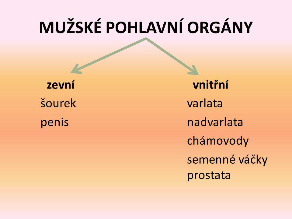 MUŽSKÉ POHLAVNÍ ORGÁNY zevnívnitřní šourek varlata penis nadvarlata chámovody semenné váčky prostata