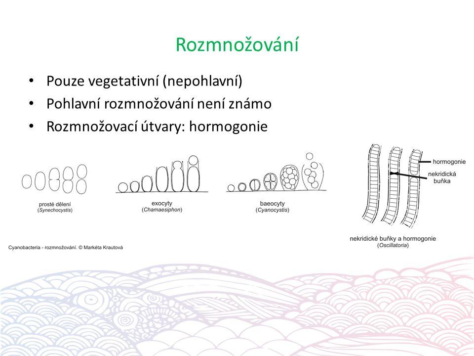 Rozmnožování Pouze vegetativní (nepohlavní) Pohlavní rozmnožování není známo Rozmnožovací útvary: hormogonie