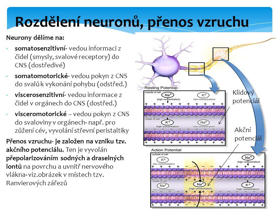 Náboj šířící se po nervovém vláknu je předán sousednímu vláknu nebo samotnému tělu neuronu (viz.obrázek) pomocí propojení- tzv.synapse.