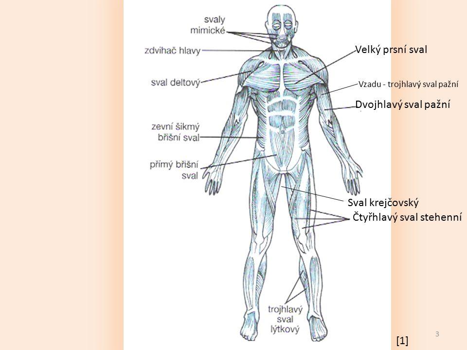 3 Čtyřhlavý sval stehenní Sval krejčovský Velký prsní sval Dvojhlavý sval pažní Vzadu - trojhlavý sval pažní [1]