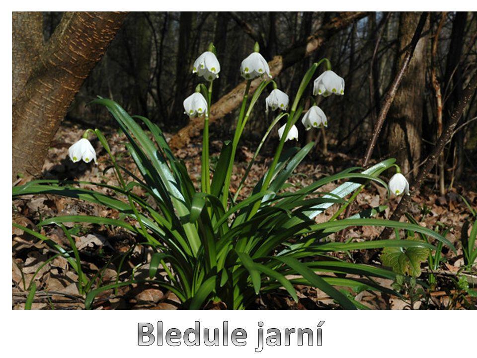 Bledule jarní je vytrvalá bylina  jedna z prvních na jaře kvetoucích rostlin  kvete od února, často si razí cestu i ve sněhu  na bezlistém stonku má velký bílý zvonkovitý květ, jeho okvětní lísky zdobí na okrajích žluté skvrnky  listy jsou 3 – 4, úzké, sytě zelené  celá rostlina vyrůstá z podzemní cibule  patří mezi jedovaté rostliny  je ohroženým a chráněným druhem